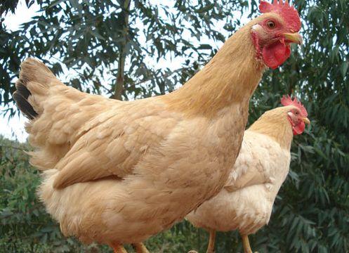 鸡互啄、鸡吃鸡蛋是为什么